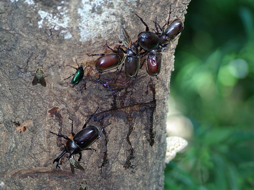 クヌギの樹液に集まる昆虫たち