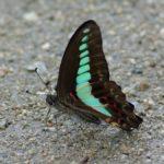 地面で吸水するアオスジアゲハ 福岡県春日市春日公園 2011/06/24