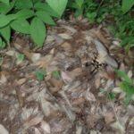 産卵植物を探して低く飛ぶジャコウアゲハ 福岡県筑紫郡那珂川町中ノ島公園 2017/07/23