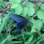 葉にとまって休むクロアゲハ