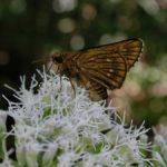 ヒヨドリバナの蜜を吸うコチャバネセセリ 佐賀県佐賀市富士町士町北山 2001/09/17