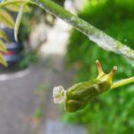 フジの蔓食べるウラギンシジミ幼虫 佐賀県佐賀市富士町少年自然の家 2011/07/10