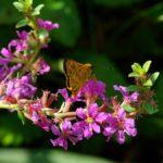 ミソハギの蜜を吸うキマダラセセリ 佐賀県佐賀市金立公園 2008/08/24