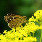 オミナエシの蜜を吸うコチャバネセセリ 佐賀市金立公園 2008/08/24