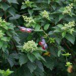 ノリウツギの花に来たアサギマダラ 佐賀県鳥栖市九千部山 2012/07/22