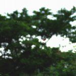 山頂を飛ぶアサギマダラ 佐賀県鳥栖市九千部山 2012/07/22