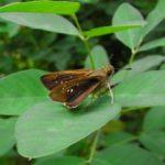 草の葉にとまるイチモンジセセリ 石川県金沢市金沢城公園 2008/09/12