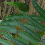 カラスザンショウに産まれたナミアゲハの卵 福岡県福岡市中央区舞鶴公園 2010/07/07