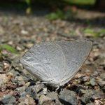 地面に降りて吸水するウラギンシジミのオス 福岡県福岡市中央区舞鶴公園 2010/07/07