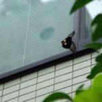 ビル街を飛ぶナガサキアゲハ 福岡県福岡市中央区舞鶴 2009/08/09