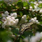 サラサウツギにやってきたナミアゲハ 福岡県福岡市中央区西公園 2007/05/28