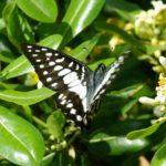 トベラの花に来たミカドアゲハ 福岡県福岡市中央区西公園 2011/05/14