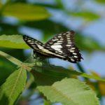 ヌルデの葉で休むミカドアゲハ 福岡県福岡市中央区西公園 2011/05/17
