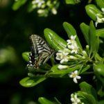 トベラで蜜を吸うナミアゲハ 福岡県福岡市中央区西公園 2012/05/08