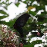 クサギの蜜を吸うナガサキアゲハ 福岡県福岡市中央区西公園 2012/08/24