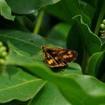 葉にとまるキマダラセセリ 福岡県福岡市中央区赤坂赤坂公園-20090802