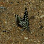地面で吸水するナミアガハ 福岡県福岡市中央区赤坂赤坂公園 2009/09/13