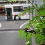 住宅街のサンショウについていたナミアゲハの幼虫 福岡県福岡市中央区赤坂 2011/11/17