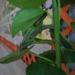 飼育展示中のアサギマダラ幼虫 福岡県福岡市日東区アイランドシティ