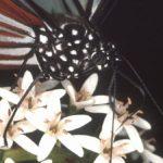 オカトラノオで蜜を吸うアサギマダラ 福岡県福岡市早良区脊振山 1991/07/13