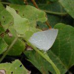 葉にとまるウラギンシジミ 福岡県福岡市早良区西油山 2002/09/15