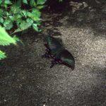 地面で吸水するミヤマカラスアゲハ 福岡県福岡市東区下原 1997/06