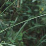 ススキに見られたキマダラセセリ幼虫の巣 福岡県福岡市東区志賀島 1991/08/19