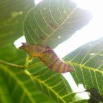 ミヤマカラスアゲハの蛹(寄生されている) 福岡県福岡市西区今宿上ノ原 2005/07/30