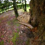 クヌギの樹液を吸うサトキマダラヒカゲ 福岡県福岡市西区今宿上ノ原 2006/09/06