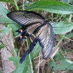 ジャコウアゲハはメスが羽化するとすぐにオスが集まるのでうまく翅が伸びなかったメス 福岡県福岡市西区今津今津長浜 2010/07/11