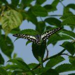 樹上で休むミカドアゲハ 福岡県福岡市西区愛宕愛宕山 2008/05/16