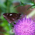 アザミで蜜を吸うクロセセリ 福岡県福岡市西区飯盛 2009/05/20