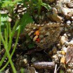 産卵するヨモギを探すヒメアカタテハ 福岡県筑紫郡那珂川町五ケ山グリーンピアなかがわ 2016/05/14