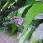 植物にとまるヒメウラナミジャノメ 福岡県筑紫郡那珂川町五ケ山グリーンピアなかがわ 2016/07/29