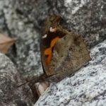 テングチョウの新成虫は羽化後しばらくは路上などに群れる 福岡県糟屋郡久山町猪野 2008/06/04