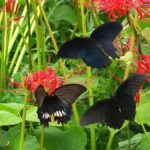ヒガンバナの蜜を吸うナガサキアゲハのメスに求愛するオス 福岡県糸島市志摩町火山 2008/09/21