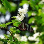 ウツギに吸蜜やってきたアサギマダラ 福岡県糸島市瑞梅寺 2011/06/05