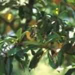 オガタマノキの葉に産卵するミカドアゲハ 福岡県豊前市中村 1999/05