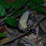 産卵植物を探して低く飛ぶジャコウアゲハ 長崎県平戸市川内峠 2008/07/10