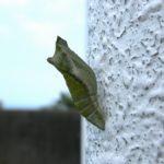 壁面についていたナミアゲハの越冬蛹 長崎県長崎市野母崎町樺島 2004/05/28