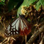 ツルソバの蜜を吸うアサギマダラ 長崎県長崎市野母崎町 2009/10/27