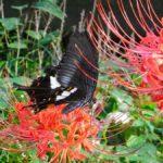 ヒガンバナで蜜を吸うモンキアゲハ 福岡県福岡市中央区舞鶴公園 2009/09/23