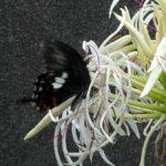 ハマオモトで長崎県蜜を吸うモンキアゲハ 長崎市野母崎町樺島 2003/07/29