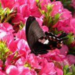 ツツジで吸蜜するモンキアゲハ 長崎県長崎市野母崎町樺島 2004/05/28