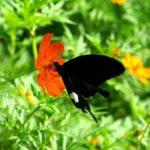 キバナコスモスで蜜を吸うモンキアゲハ 長崎県長崎市野母 2007/09/11