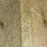 壁面にいたモンキアゲハの蛹 長崎県長崎市野母崎町権現山 2005/09/27
