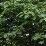 すばやく飛ぶキリシマミドリシジミ 佐賀県佐賀市三瀬村井出野 2010/08/05