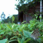 葉にとまるクロシジミ 佐賀県佐賀市富士町藤瀬 1999/07