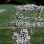 アブラムシのコロニーにいたゴイシシジミの幼虫 佐賀県佐賀市富士町古場 2001/07/28