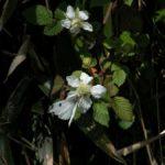 ノイチゴに吸蜜に来たツマキチョウ 佐賀県佐賀市富士町藤瀬 2005/04/26